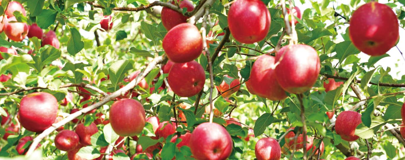 りんご園の風景